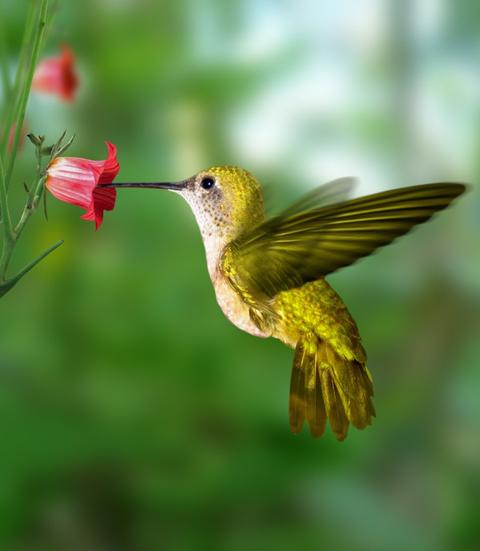 Fiche D Information Sur Le Role Pollinisateur Des Oiseaux Mediaterre